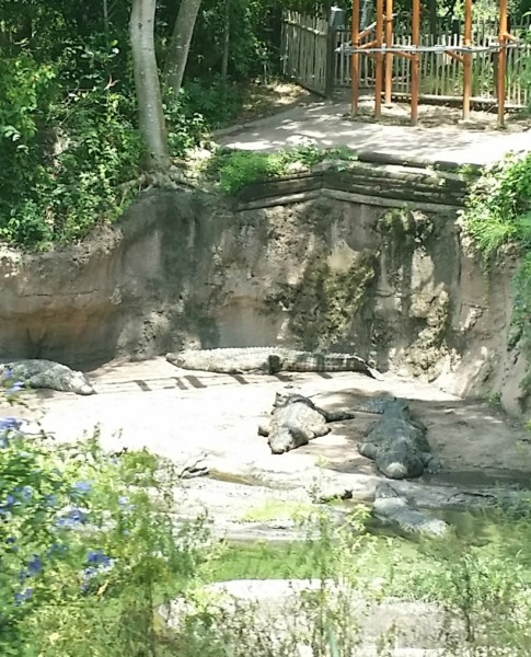 Jenny at dapperhouse goes to animal kingdom disney world crocodile 2