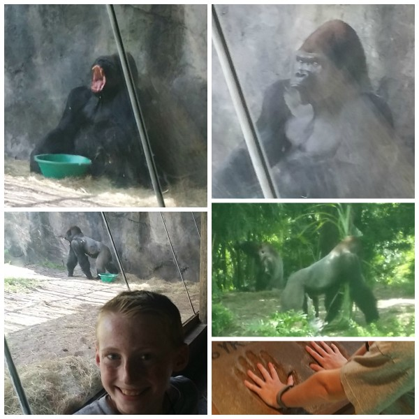 jenny at dapperhouse at Disney World Animal Kingdom Gorillas