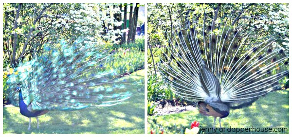 Cincinnati Zoo Peacock - #SpringInCincy - jenny at dapperhouse