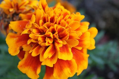 Reasons You Should Plant Marigolds in Your Flower and Vegetable Gardens